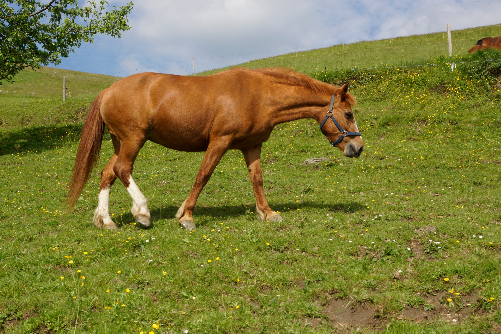 Pferdezucht Erbsmatt Laska